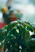 Basilikum, Food