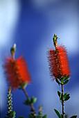 Bottle brush flower in full bloom, Western Australia