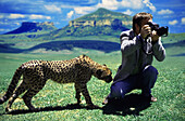 Cheetah sniffing at a photographer with camera, South Africa, Africa