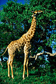 Giraffe eating leaves at Kruger National Park, Transvaal, South Africa, Africa