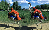 Race, Oudtshoorn ostrich farm, Oudtshoorn, Cape Province Southafrica, Africa