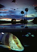 Fishes in the Amazon river in the evening, Amazonas, Brazil, South America, America