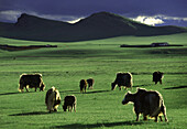 Yak herd, Aimak Mountains, Mongolia, Asia
