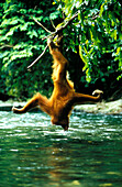 Female orang-utan drinking out of Bohorok River, Gunung Leuser National Park, Sumatra, Indonesia, Asia