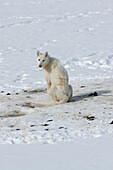 Angebundener Schlittenhund im Schnee, Ilulissat, Grönland