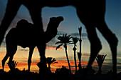 Camels at an oasis at Sahara desert at sunset, Merzouga, Morocco, Africa