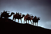 Camel Train in Timanfaya National Park, Lanzarote, Canary Islands, Spain