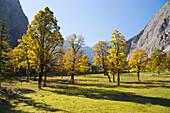 Maple trees Acer pseudoplatanus, , Grosser Ahornboden, Eng, Tyrol, Austria