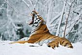 Siberian Tiger lying in snow, in a zoo