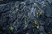 Ferns in Lava Rock, Volcanoes National Park, Big Island Hawaii, Hawaii, USA