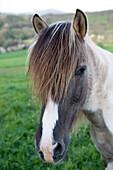Potrait of a Horse, Rhoen, Hesse, Germany