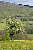 Apple Tree in Springtime, Near Ehrenberg-Wuestensachsen, Rhoen, Hesse, Germany