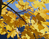 Maple leaves in Autumn, Autumnal foliage, Nature