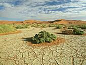 Vegetation on dry ground, Namib Desert, Sossusvlei, Namibia, Africa