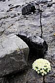 Weiss-gelbe Pflaenzchen auf einem Felsen, Schweizer Mannsschild Androsea helvetica, . Valetta, Cluozza, Schweizer Nationalpark, Engadin, Graubuenden, Graubünden, Schweiz, Alpen