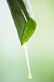 Aloe vera plant, Detail