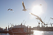Seagull´s flying on river Elbe, harbor, St. Pauli, Hamburg, Germany