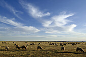 A flock of sheep grazing on Pasture Land, Northern Morocco, Africa