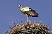 Stork in nest, Rabat, Morocco