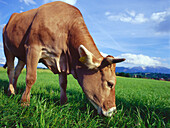 Cows grazing in field, Upper Bavaria, Germany