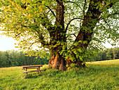 Lime Tree, Upper Bavaria, Germany
