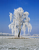 Frost covered birch
