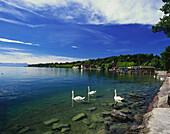 Swans on Lake, waterfront of Starnberg, Starnberger See, Upper Bavaria, Germany