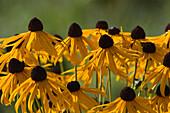 Yellow gardenflowers (Rudbeckia fulgidia var.)