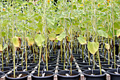 Rows of sunflowers in pots, greenhouse