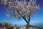 Blossom on an almond tree near Morella, Province Castellon, Spain