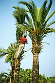 Palm Tree Worker,Palm Grove,Elche,Province Alicante,Spain