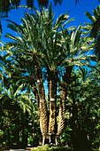 Palm tree,Palmera Imperial,Huerto del Cura,Elche,Province Alicante,Spain