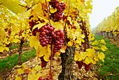 Grape-Vines near Riquewihr,Elsass,France