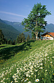 Alpine pasture with oxeye daisies and Walchalm in the background, Bavarian Alps, Upper Bavaria, Germany