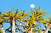 Flower and fruit of the Quivertree (Aloe dichotoma) and fullmoon. Gondwana Canon Park, Fish river canyon. Southern Namibia. Africa.