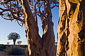A group of Quivertrees (Aloe dichotoma). Gondwana Canon Park, Fish river canyon. Southern Namibia. Africa.
