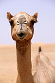 Dubai Camel, Dubai, United Arab Emirates