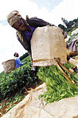 One african woman sorting out tea leaves, tea fields, Limuru, Kiambu, Kenya, Africa