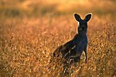 Grey Kangaroo, National Park, New South Wales, Australia