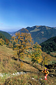 Ascent to Plankenstein with autumn colours and view to Bodenschneid, Bavarian Alps, Upper Bavaria, Bavaria, Germany