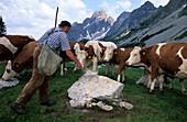 Alpine farmer feeding young cattle in an alpine landscape, Rinderfeld beneath Bischofsmütze, Dachstein range, Salzburg, Austria