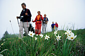 Five hikers on foot on an alpine pasture with narcissus, Mandre, Bellunese alps, Venezia, Italy