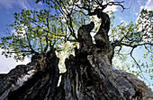Old maple tree with fresh green leaves and hollow trunk, Dachstein mountain range, Salzburg, Austria