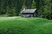 Lonely wooden hut in a clearing with narcissus, Dachstein mountain range, Upper Austria, Austria