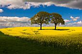 Two trees standing in rape field, Schleswig-Holstein, Germany