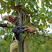 A man gathering grapes at vintage, Tuscany, Italy