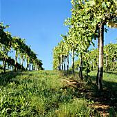 Vines under a blue sky, San Gimignano, Tuscany, Italy
