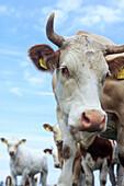 Kühe, kuherde, herde, kuh, braun weiss gefleckt, tierhaltung, junge kühe, viehzucht, blicken in die kamera, aufmerksam, mecklenburg vorpommern, lübecker bucht, deutschland, nahaufnahme, portrait