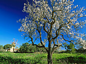 Windmill and almond tree with blossom, near Santanyi, Mallorca, Spain