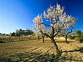 Country House and almond tree with blossom, Mallorca, Spain